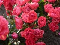 Роза Спрей Малиновая