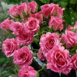 Роза спрей  Pink Flash (Пинк Флеш)