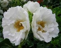 Роза флорибунда White Roadrunner (Уайт Роадраннер)