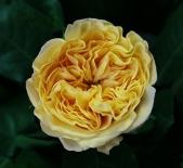 Роза чайно-гибридная  Lemon Pompom (Лемон Помпон)