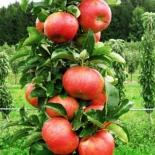 Яблоня колоновидная сорт Кумир