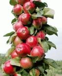Яблоня колоновидная сорт Есения