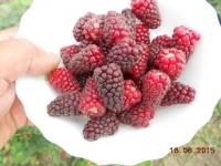 Ежевика|Ежевика садовая Bestberry (Бестберри)