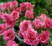 Роза спрей Flashing (Флешинг)