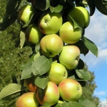 Яблоня колоновидная сорт Президент