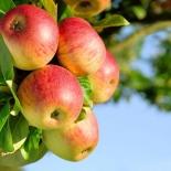 Яблоня сорт Башкирская Красавица