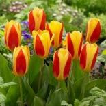 Тюльпан|Тюльпан ботанический Stresa (Стреса)