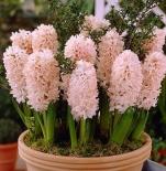Гиацинт садовый China Pink (Чайна Пинк)