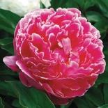 Пион молочноцветковый Koningin Wilhelmina (Кёнингин Вильгельмина