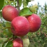 Яблоня сорт Жигулёвское