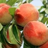 Персик сорт Гринсборо