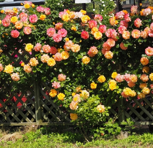 Роза кустовая Sahara (Сахара) | Купить Роза кустовая Sahara ...
